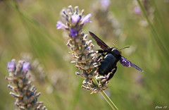 Abejorro carpintero (photoschete.blogspot.com) Tags: blue flores color macro colors azul canon eos sigma bumblebee bicho abejorro 70d cantueso