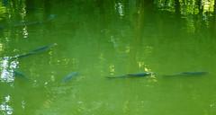 Monza, Laghetto Villa Reale (valgrassi) Tags: pond carps monza villareale ccdsensor fujicolors