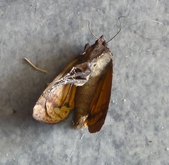 dead moth on my hall floor, 2015-07-05, 17-15-39 (tributory) Tags: brown london insect dead death grey daylight flying trapped still wings pattern sad floor legs zoom decay moth vinyl lonely hackney bent dust withered pathetic lino antennae fluttering e9 lifecycle unmoving shrivelled