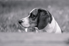 Black and White Beagle (x0allie) Tags: flowers summer blackandwhite dog pet cute beagle animal puppy mutt hound shallowdepthoffield