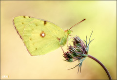Luz de vida (- JAM -) Tags: naturaleza flower macro nature insect nikon flor explore jam mariposas d800 insecto macrofotografia explored lepidopteros juanadradas