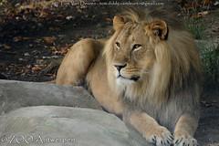 Afrikaanse leeuw - Panthera leo leo - African Lion (MrTDiddy) Tags: male cat mammal zoo big kat feline leo african lion young bigcat antwerp antwerpen zooantwerpen jong grote nestor leeuw panthera mannelijk zoogdier afrikaanse grotekat