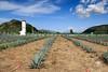 Mezcal (Kios Photography) Tags: naturaleza nature oaxaca sierrajuarez fotografo ecoturismo sierranorte ixtlan ixtlandejuarez ecoturixtlan kiosgarcia kiosphotography