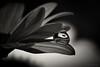 between the petals (rich lewis) Tags: macro macrophotography refraction flower waterdrop petals richlewis