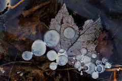 Frozen bubbles (cheryl.rose83) Tags: ice leaf bubbles