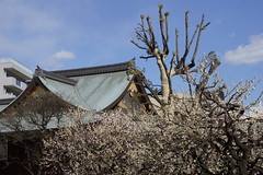 jap.0051 (Peter Hessel) Tags: 1a geo:lat=3570764557 geo:lon=13976769888 geotagged japan jpn plum plumblossom prunusmume shinto sugawara sugawaranomichizane tokyo toukyouto ueno ume yushimatenmangu
