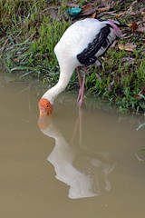 Painted stork - Fishing in progress (Lim SK) Tags: painted stork