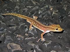 Sand-plain Gecko (Lucasium stenodactylum) (shaneblackfnq) Tags: sandplain gecko lucasium stenodactylum shaneblack lizard reptile nocturnal barkly tableland outback arid nt northern territory australia