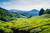 The Kingdom of Tea (BlueLunarRose) Tags: teafields cameronhighlands tea field fields landscape mountains hill hills highland sky clouds horizon light glow green blue trees nature sal1855 sonyalphadslra200 bluelunarrose