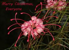 Merry Christmas, Flickr friends! (Jenny Thynne) Tags: grevillea brisbane queensland australia merrychristmas christmas flower