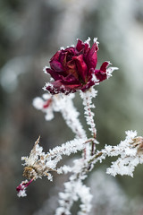 Beauty And The Beast (nicoletta_raschella) Tags: rose frost flower frosty flowers ice snow red nicolettaraschella nikon nikond3200 helios44 helios