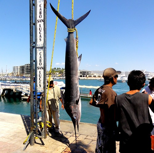 Freshly Caught Marlin at Cabo San Lucas, Mexico