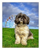 Figgy (tina777) Tags: figgy shis tzu dog canine grey white fur eyes ears paws tail collar grass sky clouds big wheel barry island barrybados vale glamorgan topaz adjust ononesoftware fairground wales south 2016 winter