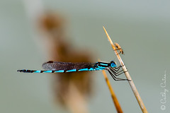 Balancing Act (Cathy Cates (aka CrafteeCC)) Tags: 116in2016 australia damselfly lakebonney southaustralia