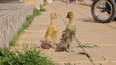 walking together (qeighty) Tags: animal animals kuwait duck outdoor outdoors colorsinourworld