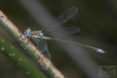 Small Spreading - Lestes virens (Charpentier, 1825) ( BlezSP) Tags: smallspreadwing lestesvirens kyrgyzstan centralasia damselfly dragonfly odonata zygoptera