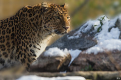 Leopard [explore Feb 6, 2017] (roland_lehnhardt) Tags: pantherapardusjaponensis eos60d canon sigma120400mm leopard panthera pardus raubkatze groskatzen raubtier hunter animals tiere grosaufnahme
