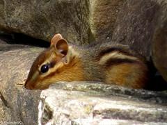 Chipmunk. (~~BC's~~Photographs~~) Tags: bcsphotographs canonsxcamera chipmunk closeups animals kentuckyphotos ourworldinphotosgroup earthwindandfiregroup explorekentucky explored1092017328 pinemountainstatepark