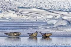 Iceland / IJsland / Island Jokulsarlon (rob.bremer) Tags: seal zeehond iceland ijsland island water snow sneeuw ice ijs ijsmeer landscape landschap mammal glacierice gletscherijs nature natuur