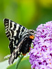 Mistletoe Moth (Comocrus behri) (David Cook Wildlife Photography) Tags: mistletoemoth comocrusbehri wamboin nsw australia davidcookwildlifephotography kookr sonya6500 sonyilce6500 sonysal70400g2 sonylaea3 ©2017davidcookwildlifephotographyallrightsreserved