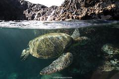 Lava Rock Turtle overunder (Aaron Lynton) Tags: honu turtle aui maui hawaiiangreenseaturtle hawaii turtles spl canon 7d paradise