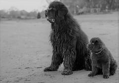 Friends (Brian K. Brown) Tags: dog pet pets skyla newf newfoundland friend