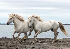 2016 Two Camargue Stallions (7) (maskirovka77) Tags: saintlaurentdaigouze languedocroussillonmidipyrén france languedocroussillonmidipyrénées fr stallion stallions whitehorse whitehorses whitestallion whitestallions createaway photoworkshop