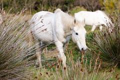 Camargue... (geolis06) Tags: geolis06 europe europa france camargue nikon nikond7200 sigma sigma150600mmf563dgoshsmcontemporary lapalissade cheval horse