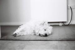 A little rest (Gomerama) Tags: alittlerest bonnie bonniethewestie westie westhighlandwhiteterrier dogs canine bw blackandwhite monochrome kodak trix kodaktrix film analog analogue 35mmfilm m leica mp leicamp summicron leicasummicron50mmf2 50mmf2summicron mmountlenses manual 50mm snooze sleep