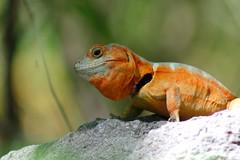 Gruñidor del Sur (Cesne) Tags: animal chile nature naturaleza reptil