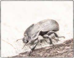Knight in (not so) Shining Armour (Daniela 59) Tags: 100x2017 100xthe2017edition image12100 theworldaroundme sliderssunday hss beetle dungbeetle animal insect danielaruppel