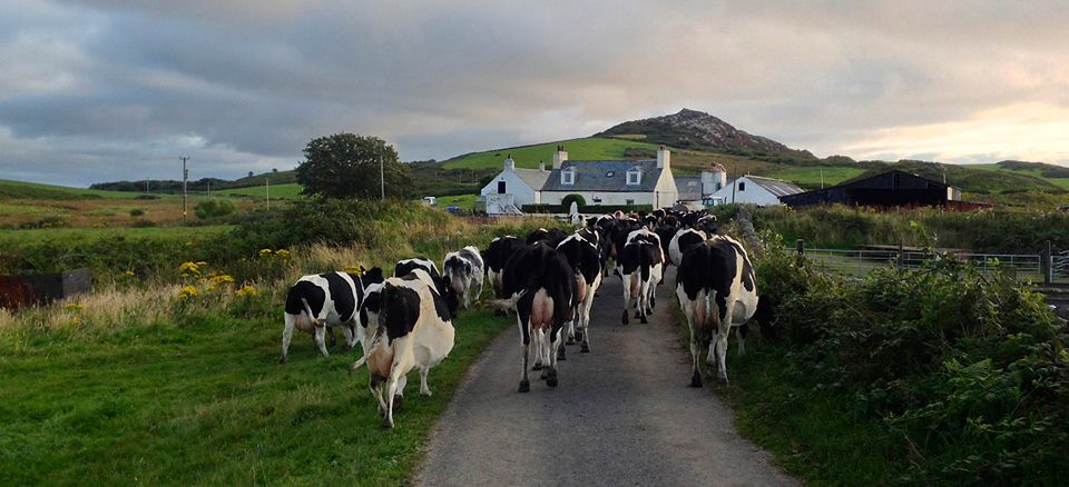 Tarbert Farm and Cows