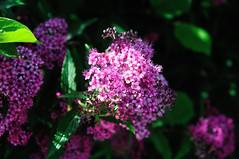 Fleurs (OlivierGa) Tags: hautesavoie servoz fleur