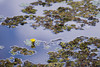 ATU_0375_Orelha de Onça e Planta Mosaico (Ana Taemi) Tags: brazil brasil wildlife pantanal matogrossodosul waterplant waterfern salviniaauriculata plantaaquática aquidauana ludwigiasedoides matureza orelhadeonça carrapatinho fazendabarramansa brazilianwetlands plantamosaico
