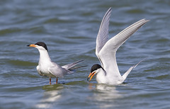 Forster's Tern Couple (Hockey.Lover) Tags: birds 2015 explore forsterstern terns radioroadponds redwoodshores sanmateocounty then gone exploreandthengonehaha