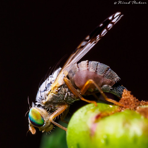 "Fruit Fly • <a style=""font-size:0.8em;"" href=""http://www.flickr.com/photos/59465790@N04/18892014562/"" target=""_blank"">View on Flickr</a>"