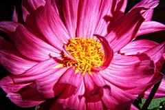 Dahlia (robtm2010) Tags: dahlia usa flower canon lexington massachusetts newengland t3i wilsonfarm