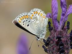 Festín (Maite Mojica) Tags: primavera flor alimento mariposa insecto libar lycaenidae lavandula lepidóptero aricia espliego stoechas néctar artrópodo cantueso licénido