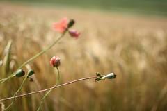 Poppies (NicoleLovesPictures) Tags: macro field feld poppies mohnblumen macroaufnahme mohnbluhmen