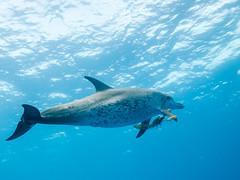 The Seaweed Game I (altsaint) Tags: underwater dolphin wildlife panasonic bahamas bimini cetacean gf1 714mm atlanticspotteddolphin stenellafrontalis