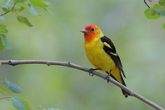 Western Tanager (Greg Lavaty Photography) Tags: red black newmexico santafe bird nature yellow wildlife nationalforest western tanager pirangaludoviciana