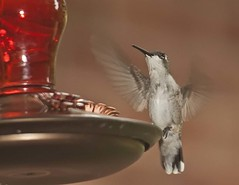 hummingbird1 (Anne Davis 773) Tags: ga hummingbird mcdonough 218365 2015365
