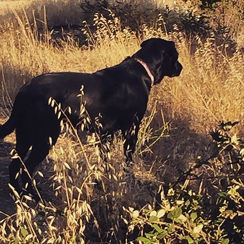 #blacklab #hiking my baby girl