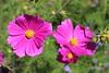 IMG_4592 (cheryl's pix) Tags: california flowers flower berkeley botanicgarden botanicalgardens botanicalgarden botanicgardens berkeleyca berkeleybotanicalgarden ucbotanicalgarden universityofcaliforniabotanicalgarden universityofcaliforniabotanicalgardenatberkeley