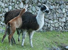 Peru-8641.jpg (Matt and Debbie) Tags: peru llama 2015 wayna winaywayna wiñay