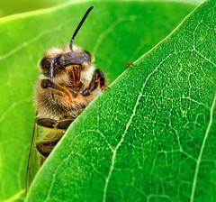 Hello, Everybody ! (kunstschieter) Tags: macro nature insect natuur olympus bee makro insekt bij
