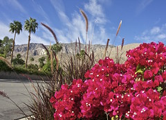 IMG_4727_once all desert. (lada/photo) Tags: california palmdesertca bloom flowers scenery ladaphoto bougainvillea
