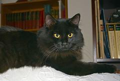 Portrait of a young bully (Caulker) Tags: cat kitten vaska 06122016