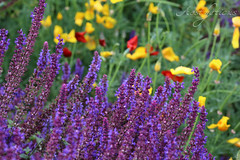 Summer garden (Foto-Aestheticus) Tags: purple flower flowers mood garden nature naturephotography naturefotography outdoor outside summer summervibes beautiful wonderful