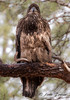 Immature Bald Eagle (Anne Marie Fraser) Tags: immature bald eagle nature wildlife raptor bird